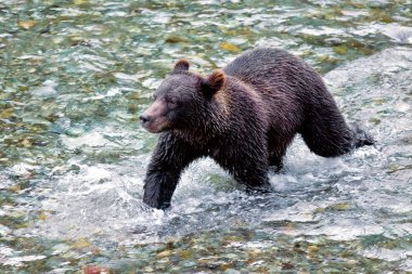 Grizzly or a Brown Bear - Fish Creek, Alaska