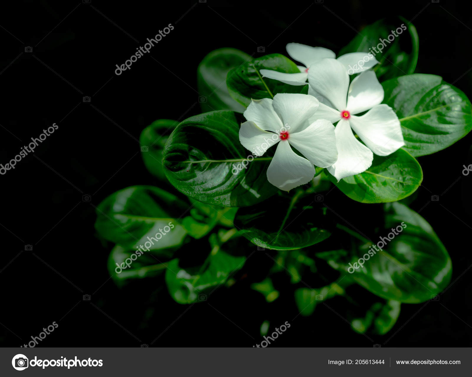 Catharanthus Roseus West Indian Periwinkle Madagascar Periwinkle