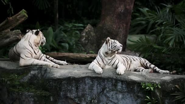 Fehér tigrisek állatkertben