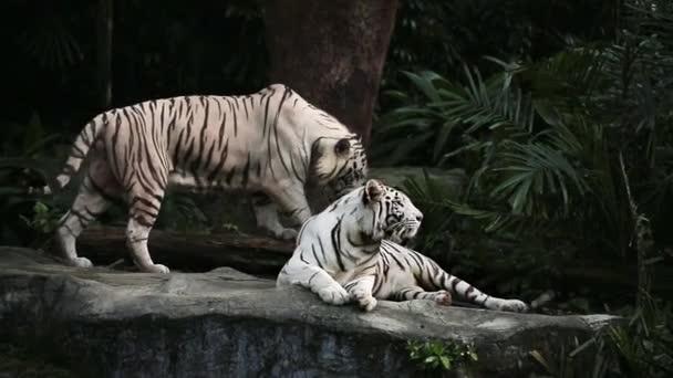 Bílí tygři v zoo