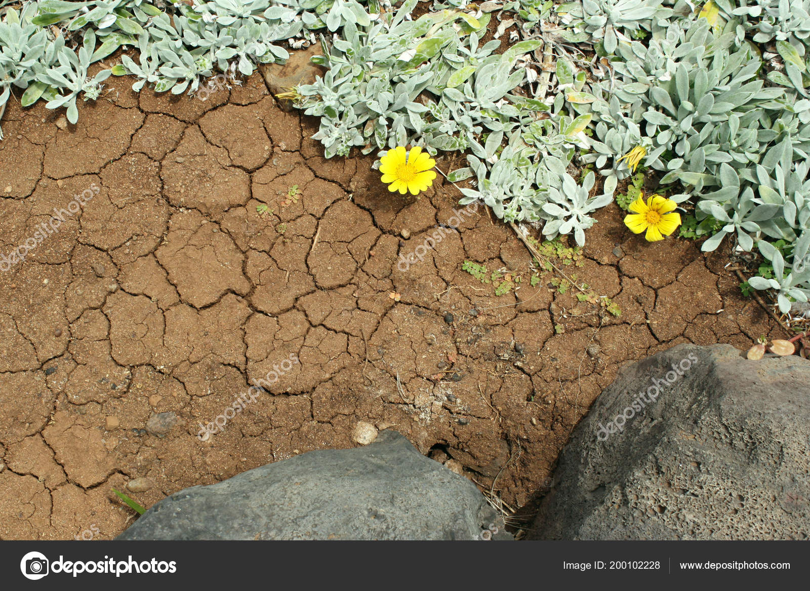 Close Volcanic Ground Creeps Spontaneous Branching Succulent Plant