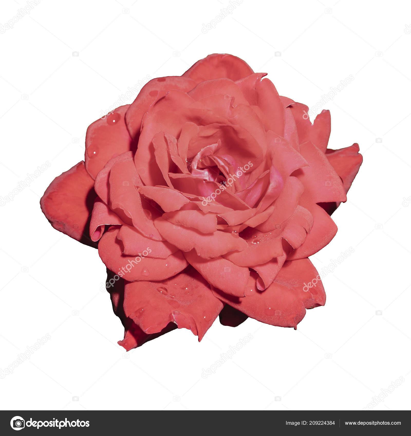 Une Fleur Une Rose Rouge Isole Sur Fond Blanc Photographie