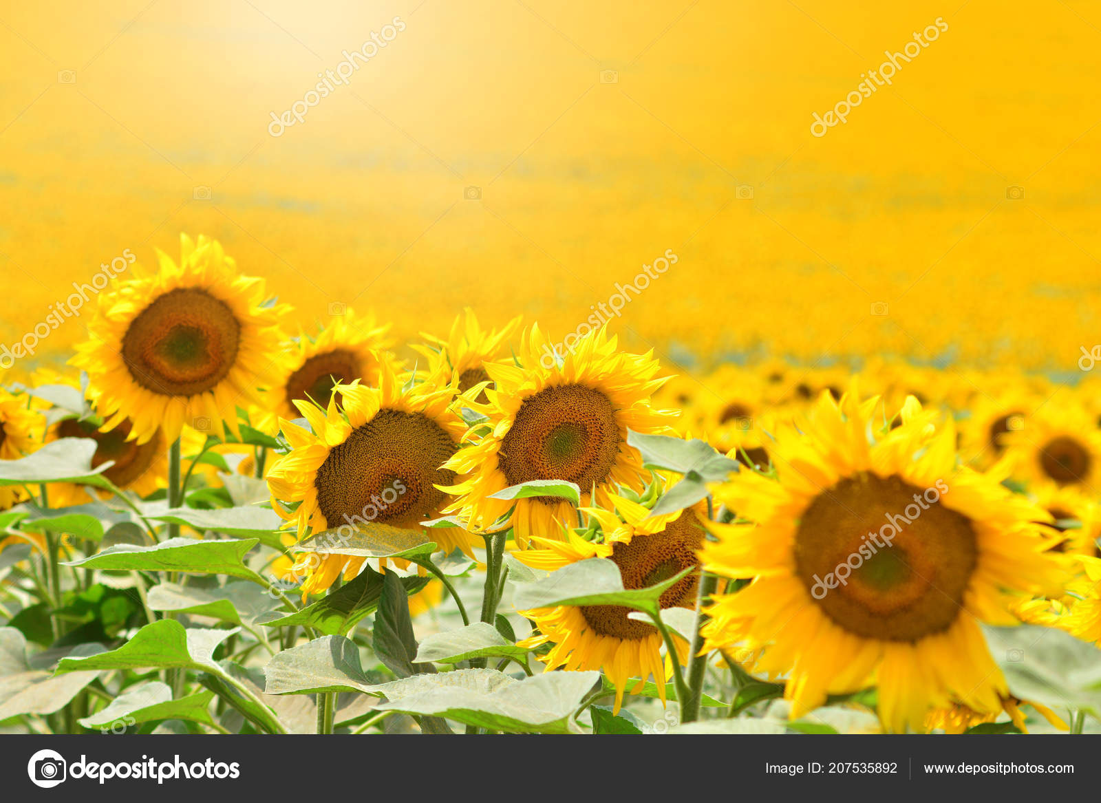 Yellow Sunflowers Background Wallpaper — Stock Photo
