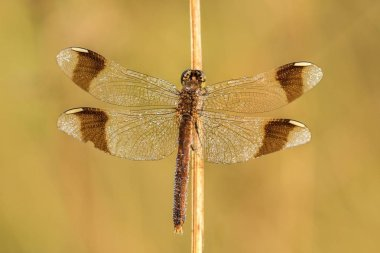 Beautiful nature scene with dragonfly Banded darter  (Sympetrum pedemontanum). Macro shot of dragonfly Banded darter  (Sympetrum pedemontanum) on the grass.
