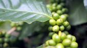Kávéfa kávébab a kávé ültetvény. Kávét, hogy még nem főtt nem lehet tárolni.