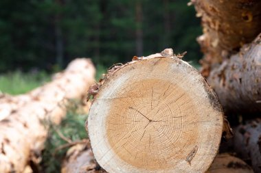 against the background of the forest in the summer end to us is a tree, sawn pine with cracks in the wood