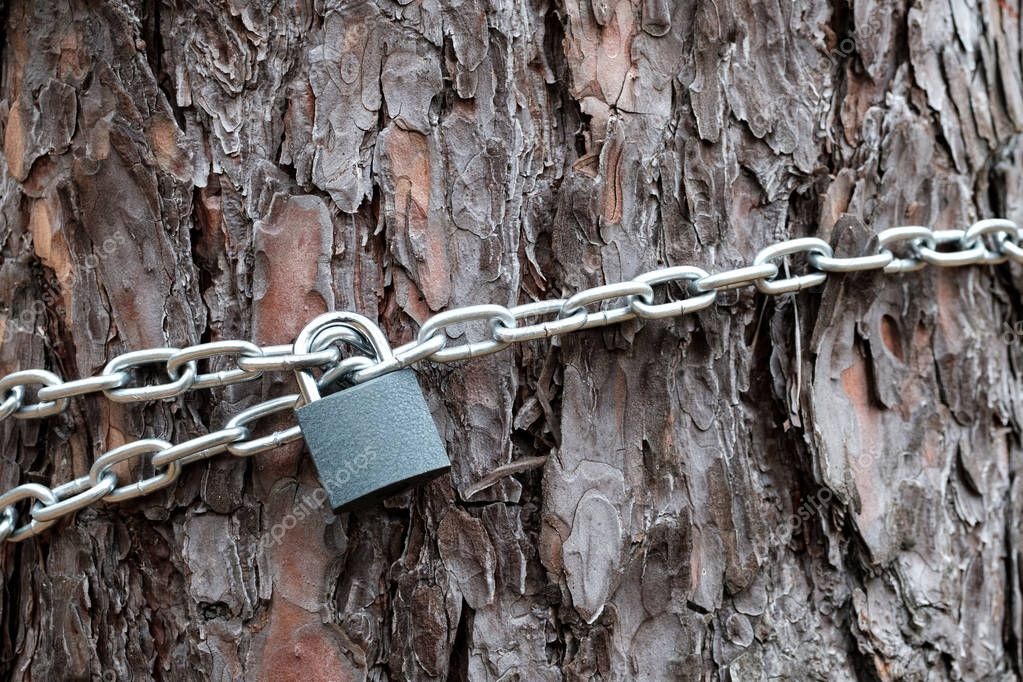 the chain and padlock on the trunk of pine, the chain wraps around the barrel and closed on the lock, the texture of the bark