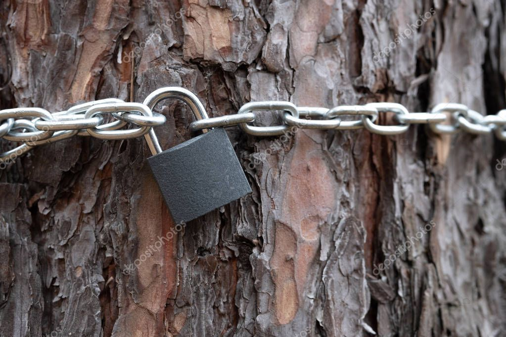 the chain wrapped around the pine tree and the padlock on the large trunk, the texture of the crust and metal chain