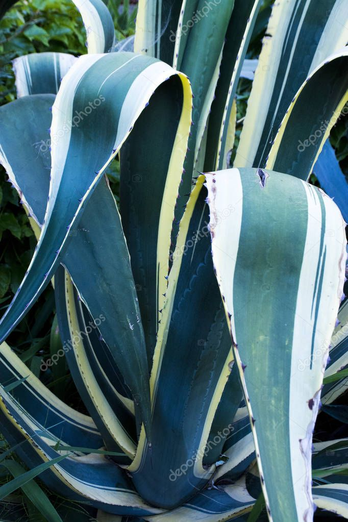 Blue agave leaves close up, nature background