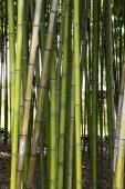 Bambus zelený Les zavřít nahoru, přírodní pozadí