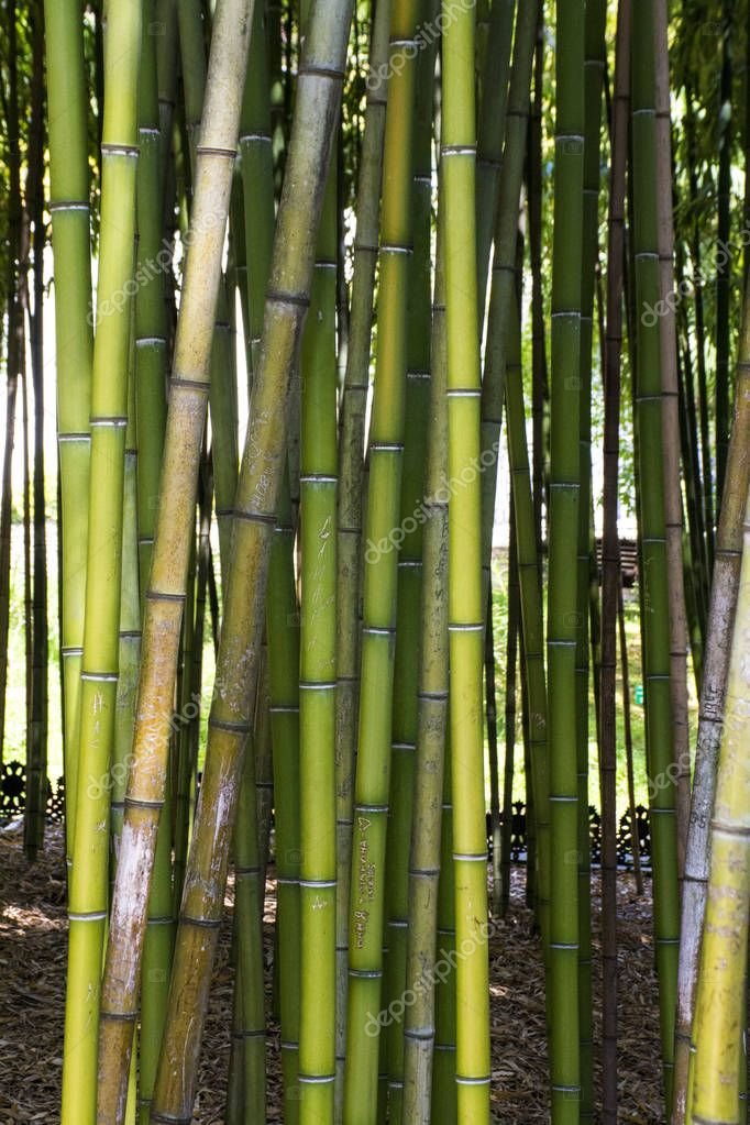 Bamboo green Forest close up, nature background