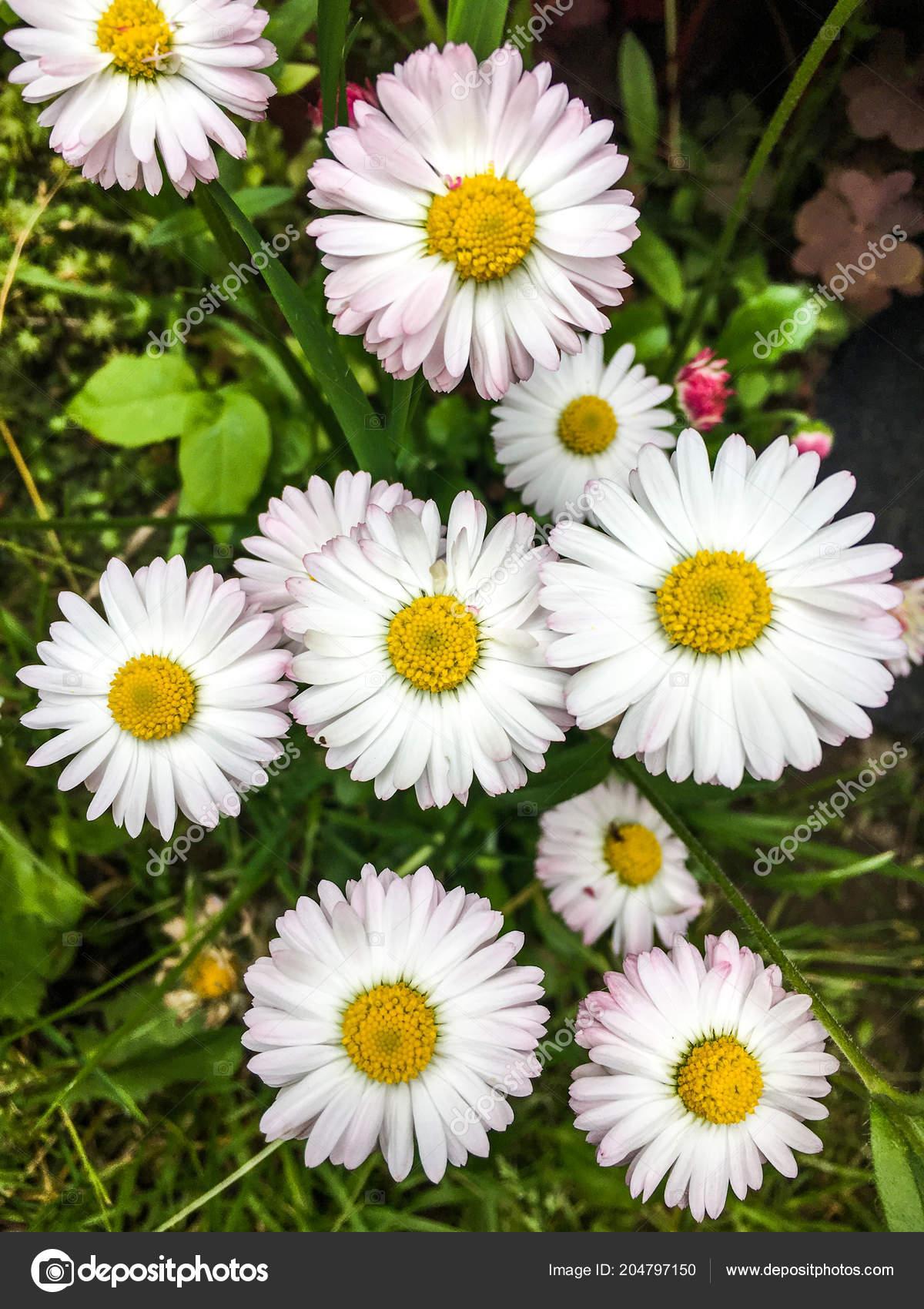 White wild daisies green meadow stock photo ozaiachinn 204797150 white wild daisies green meadow stock photo izmirmasajfo