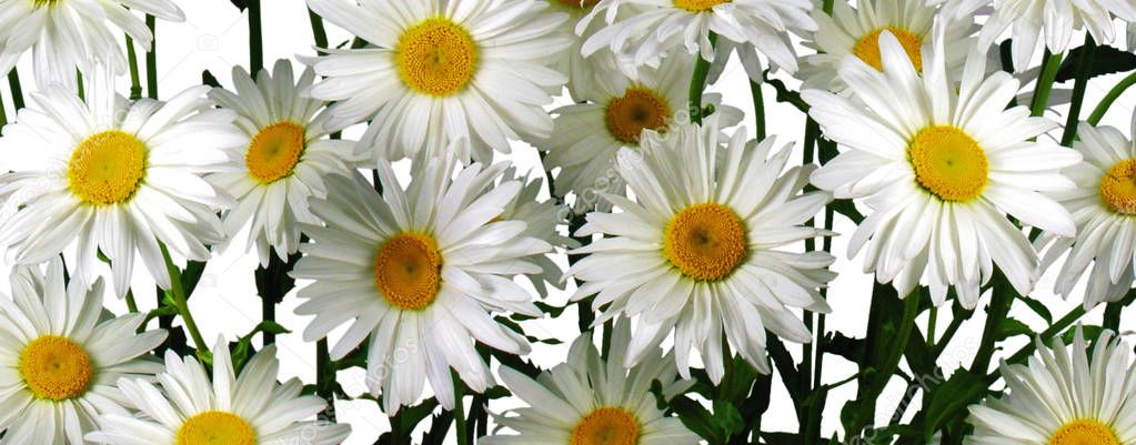 Bouquet of  fresh daisies, close up