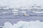 Wild polar bear in Arctic landscape