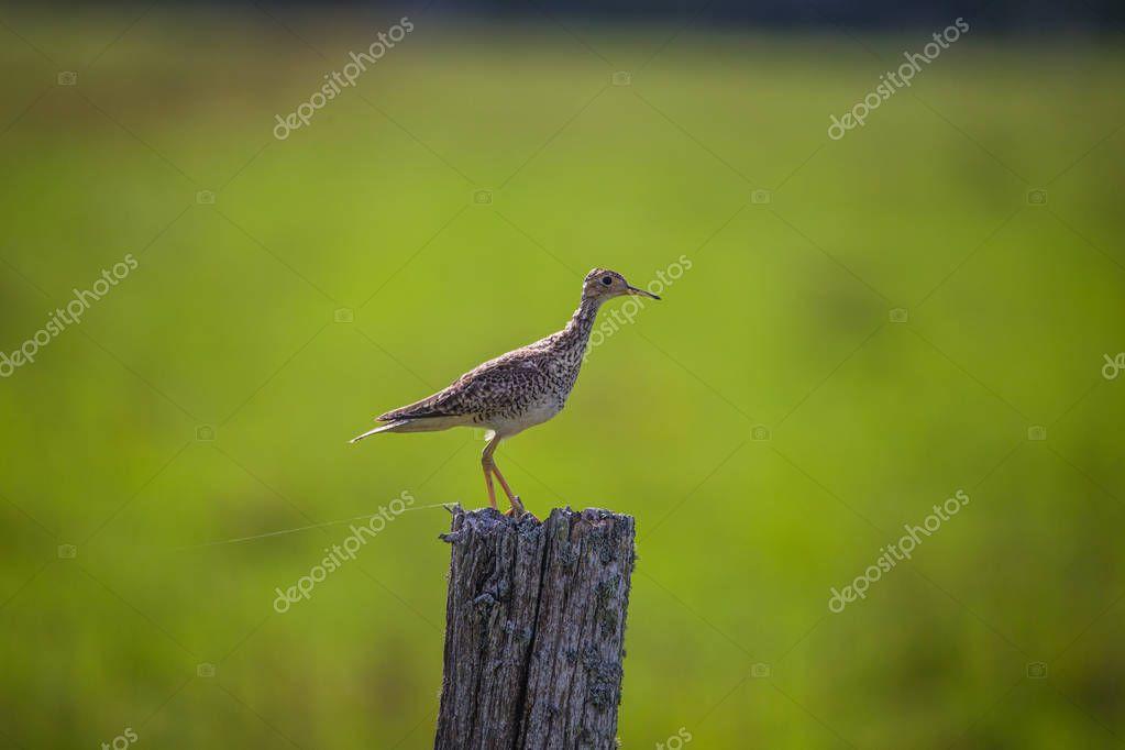 upland sandpiper profile on post