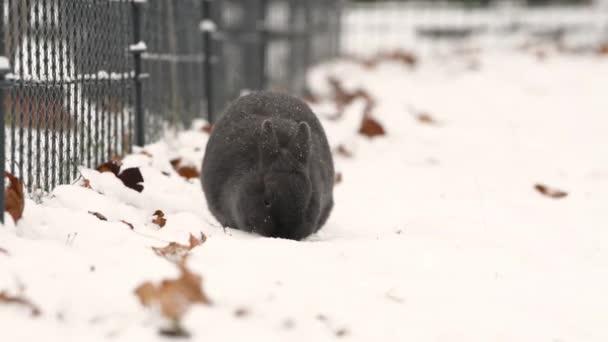 ein niedliches kleines Zwergkaninchen im Schnee (Futtersuche, Reinigung)