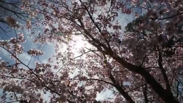 Közelről sakura vagy cherry blossom japán tavaszi virág Sakura Pink cseresznye virág.