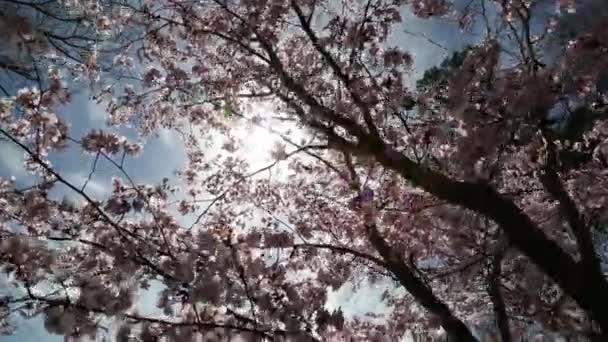 Detailní záběr sakura nebo cherry blossom japonské Jarní květina Sakura Pink Cherry Flower.