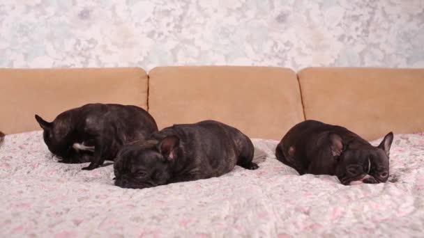 Rozkošný Francouzský buldoček štěně spí na gauči.