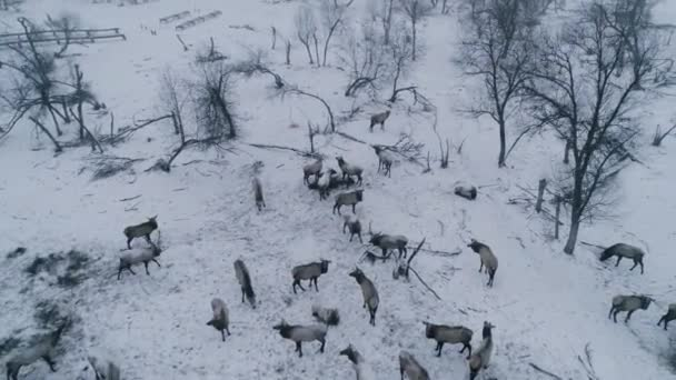 A herd of deer passes through a snowfield.