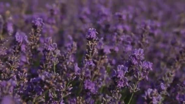 violette Lavendelblüten - Sonnenuntergang über einem sommerlichen Lavendelfeld. Strauß duftender Blumen in den Lavandafeldern der französischen Provence in der Nähe von Valensole.
