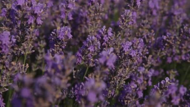 fialové levandulové květy-západ slunce nad letním levandulovým polem. Banda vonutých květů v lavandních polích francouzského Provence nedaleko Valensole.