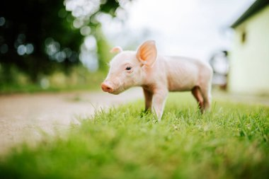 Close-up image of cute baby pig on the grass.