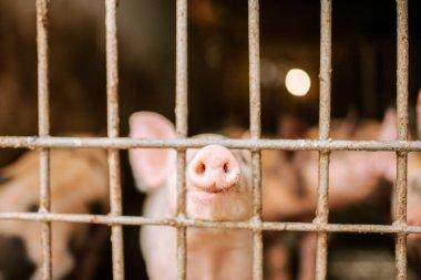 Eco-farm. Close-up of pig snouts through a fence.