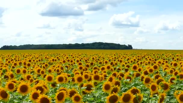 Beautiful sunflowers grow on the field. A lot of yellow big flowers on the horizon and against the blue sky.