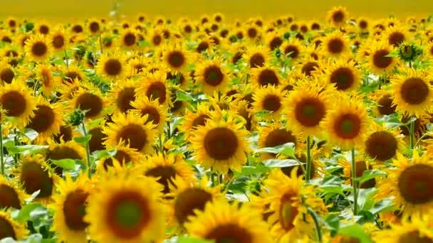 Szép napraforgó nő a pályán. Egy csomó sárga nagy virágok a horizonton, és a kék ég ellen.