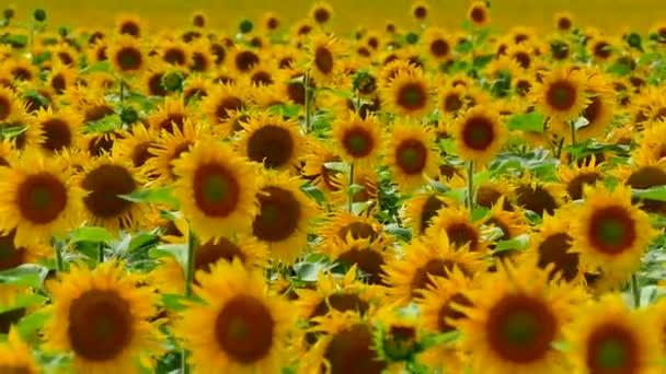 Krásné slunečnice rostou na hřišti. Spoustu žluté velké květy na obzoru a proti modré obloze.
