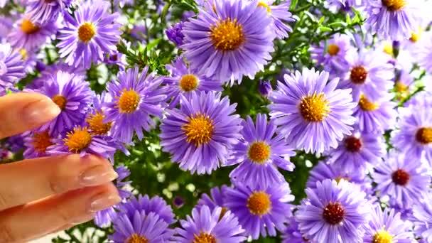 Egy csokor mező kék, szép virágok megvilágított a nap sugarai. A lány kezét, hogy a stroke a virágok.
