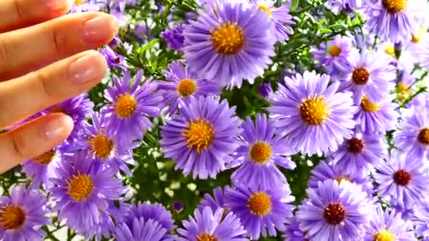 A bouquet of field blue beautiful flowers illuminated by the rays of the sun. Girls hand strokes the flowers.