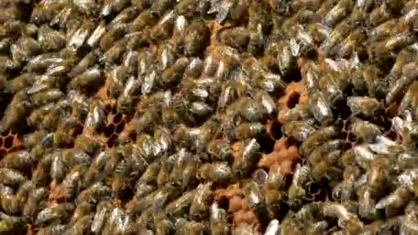 Bees crawl on honeycombs. Bees work in the hive. Apiary closeup. Honey production.