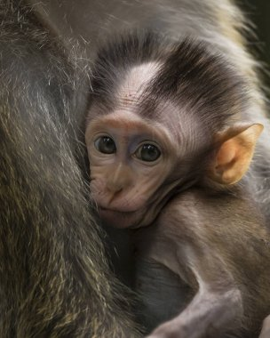 Baby lnog-tailed macaque suckling  while looking at photographer