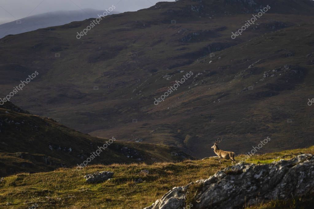 Male red deer stag in the Scottish Highlands, UK