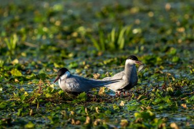 White-Cheeked Tern male giving a freshly caught fish to a female Tern in Danube Delta Romania wildlife bird photography in the Danube