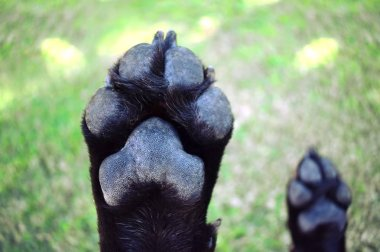 A black Labrador`s paws while his belly is getting a scratch