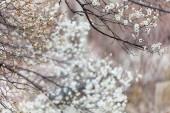 švestka květ začátek jara