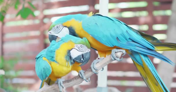 Blue macaw lick his paw