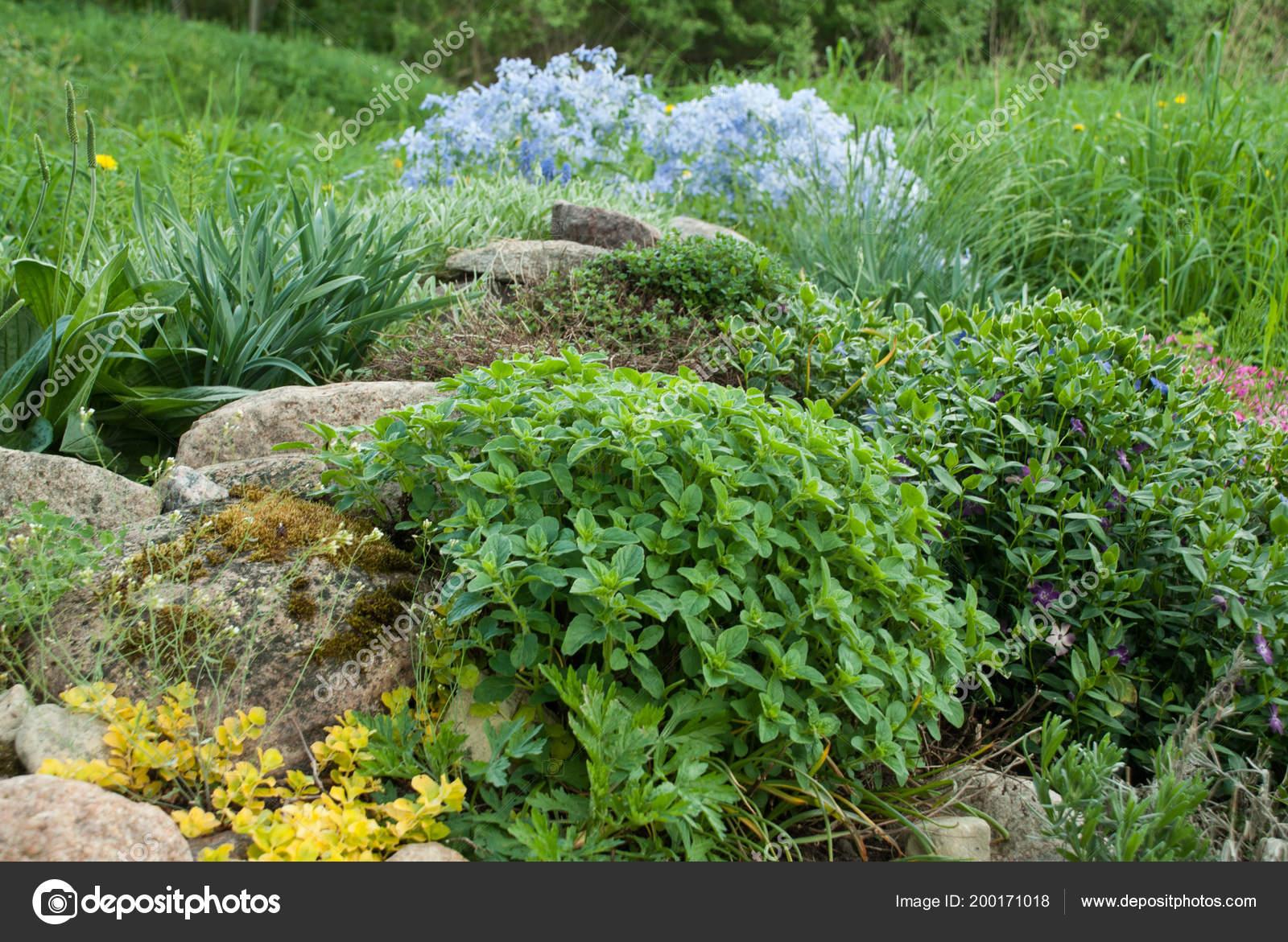 Origanum Vulgare Origan Jeune Plant Dans Jardin Rocaille ...