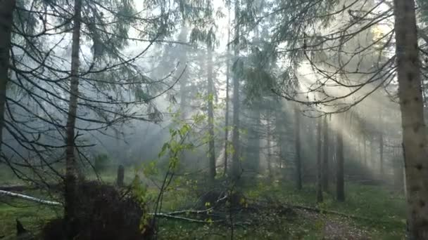 Panoramic shooting in the forest. The suns rays break through the fog and tree branches. Drops fall from the branches.