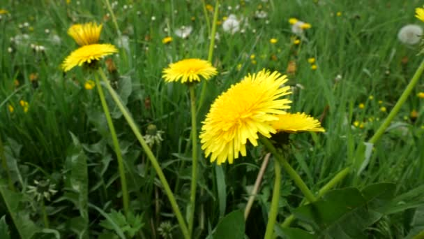 Mýtina se zelenou trávou, žlutými pampeliškami a včelami, které sbírají nektar.