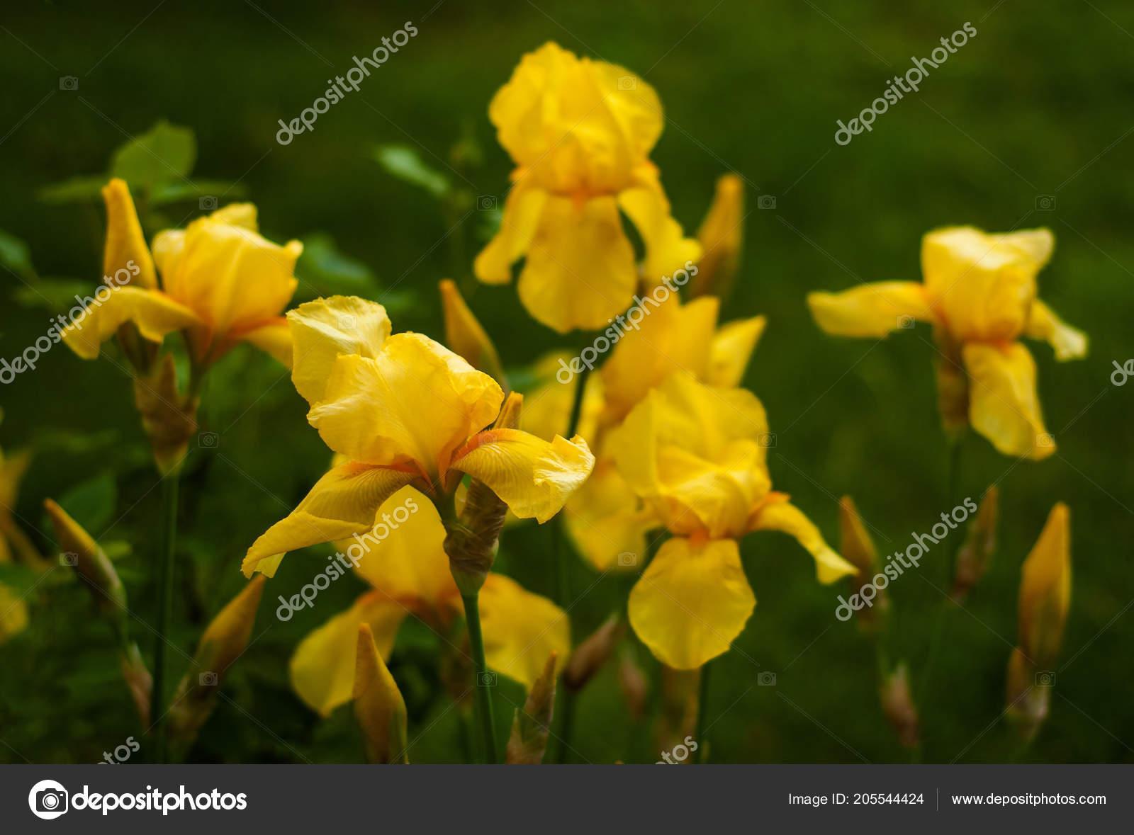 Vista Cercana Una Flor Iris Amarillo Sobre Fondo Flores Hojas
