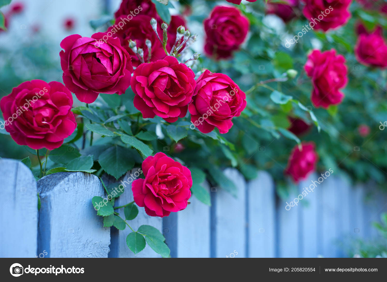Rose rosse su sfondo verde