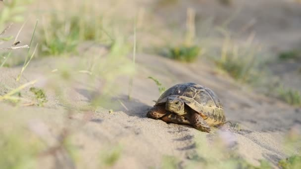 želví jde pomalu do písku s jeho ochranný shell