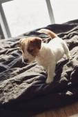 Ült egy ágyon otthon Jack Russell Terrier kiskutya imádnivaló