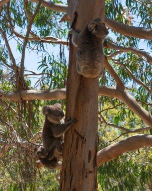 Wild Koala family with the male female and baby Koalas on an Eucalyptus tree on Kangaroo Island in SA Australia