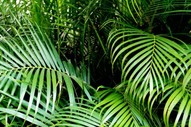 Tropical green palm leaves background. Nature pattern concept.