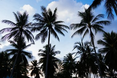 Silhouette of coconut palm trees against with blue sky and white clound at tropical sunset. Nature background.